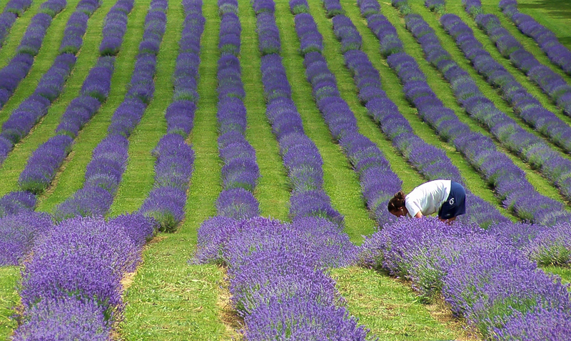 bleu lavande II - lavender blue II