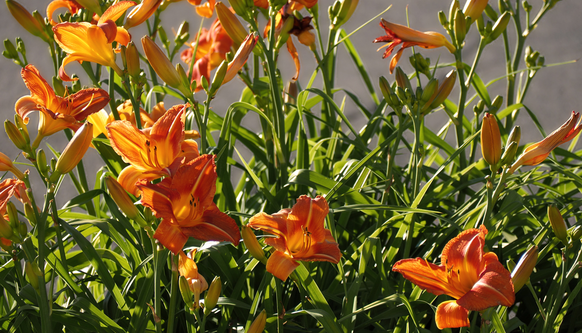 Hemerocallis - La rockeuse
