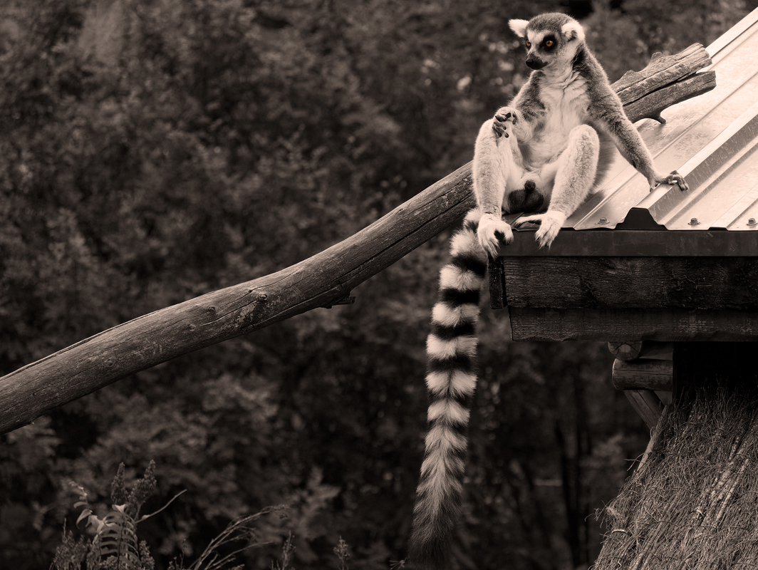 le Roi Julian - King Julien